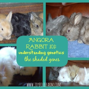 Angora Rabbits 101: Understanding Genetics and The Shaded Gene
