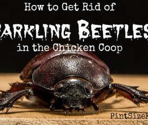 Getting Rid of Darkling Beetles from a Chicken Coop