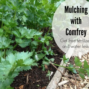 Mulching with Comfrey: Free Fertilizer and Less Watering