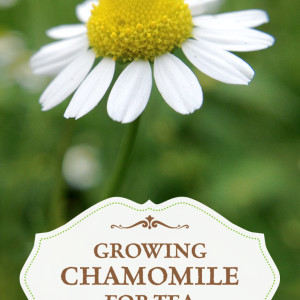 Grow Your Own Chamomile Tea