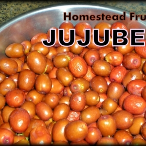 Preserving The Harvest: JUJUBE FRUIT