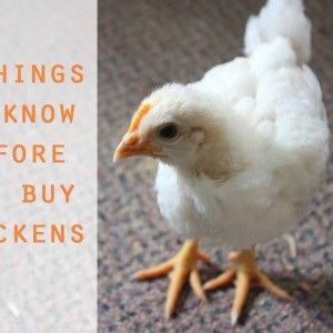 5 Things You Should Know Before You Buy Chickens