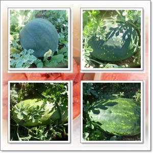Growing and Harvesting Watermelon