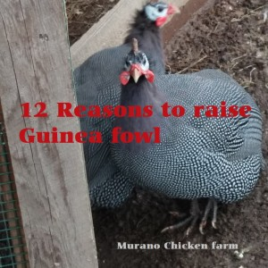 12 Reasons why you should raise guinea fowl