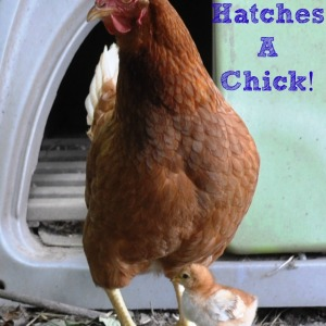 Buff Hatches A Chick via Better Hens and Gardens