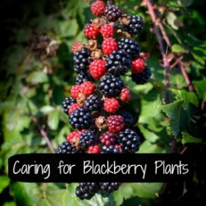 Caring for Your Blackberry Plants