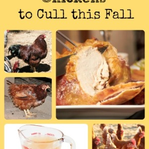 Culling Chickens Tips via Better Hens and Gardens