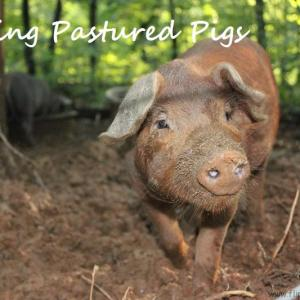 Feeding Pastured Pigs
