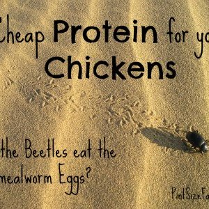 Cheap Chicken Protein | Should you Separate Mealworm Eggs and Beetles?