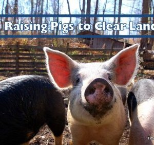 Pigs for land clear
