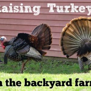 Tips for Raising Turkeys on a Backyard Farm