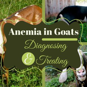 Diagnosing and Treating Anemia in Goats