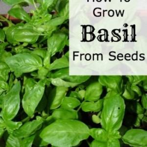 Growing Basil From The Seeds