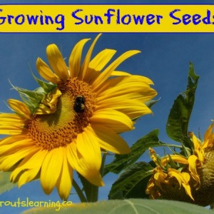 Growing Sunflower Seeds with Kids