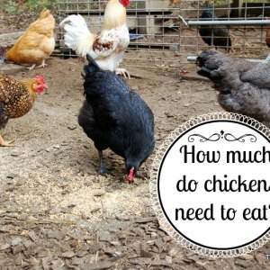 How Much Food Does a Chicken Need