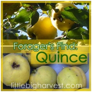 Forager's Find: Quince