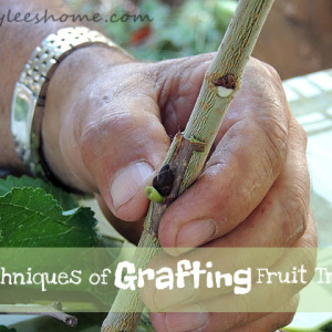 4 Techniques of Grafting Fruit Trees