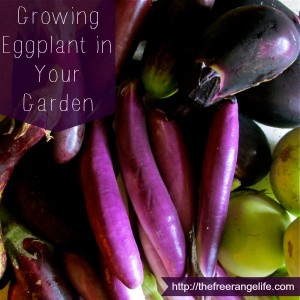 growing-eggplant-in-your-garden-1