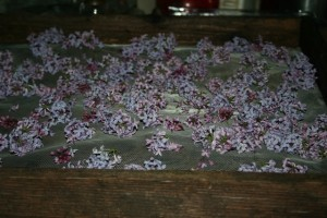 Lilac Flower Scent Extraction