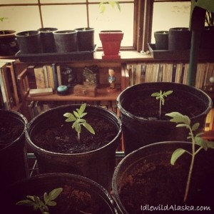 Organic Seeds for Southcentral Alaska (Zone 4)