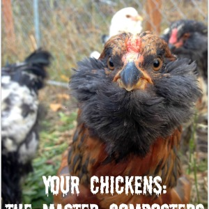 The Composting Chicken Machine: Your Chickens, Master Composters