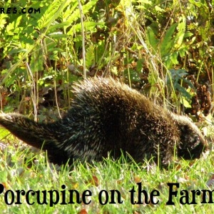 Problems with porcupine