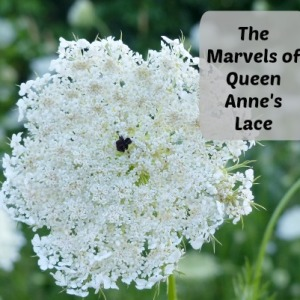 Using Queen Anne's Lace As Medicine And Food