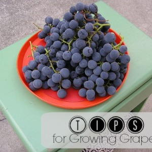 Tips and Tricks for Growing Your Own Grapes