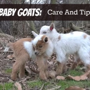 Care Tips for Baby Goats
