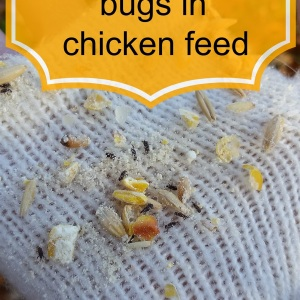 What to do about bugs in the chickens feed?