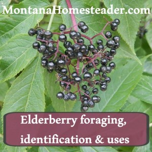 Elderberry Foraging, Identification and Uses
