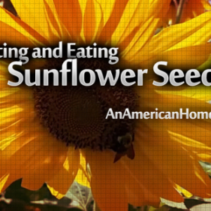 Harvesting and Eating Sunflower Seeds