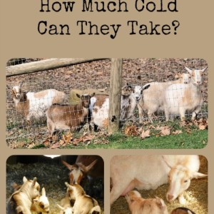 How Much Cold Can Goats Take?