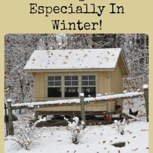 Keep Chicken Coops Ventilated – Especially In Winter