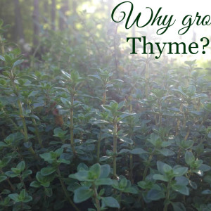 Why You Should Be Growing Thyme