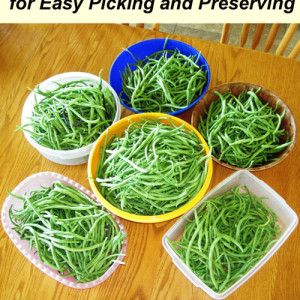 How to Grow a lot of Pole Beans for Easy Picking and Food Storage