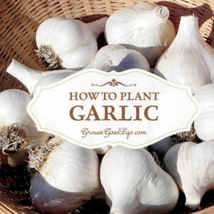 Planting Garlic in Fall to Harvest Next Year