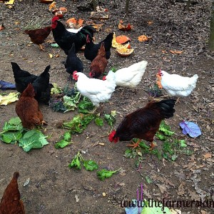Basics of Feeding Your Chickens – Part 1