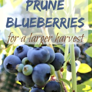 7 Tips on How to Prune Blueberries for a Larger Crop