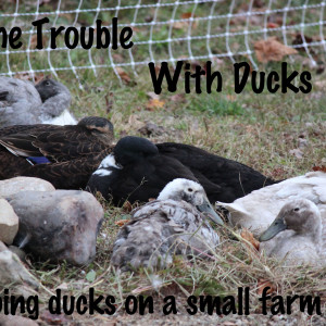 The Trouble With Ducks