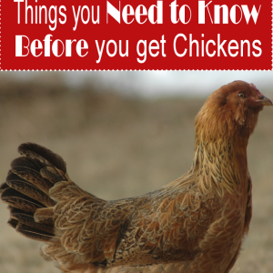 10 Things You Must Know Before Getting Chickens!