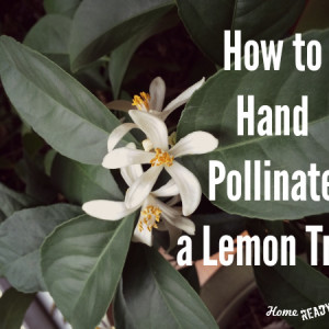 How to Hand Pollinate a Meyer Lemon Tree