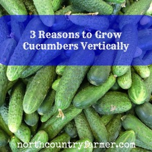 3 Reasons You Should Plant Cucumbers Vertically