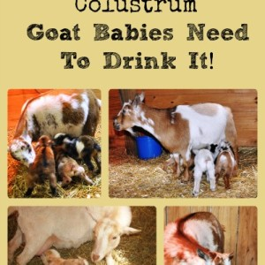 Colustrum Collage via Better Hens and Gardens