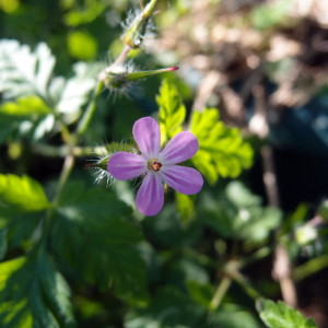 How to grow and use Herb Robert