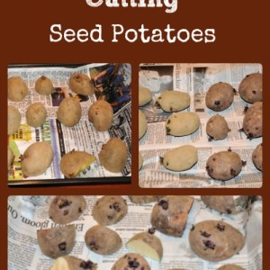 Cutting & Sprouting Seed Potatoes Before Planting