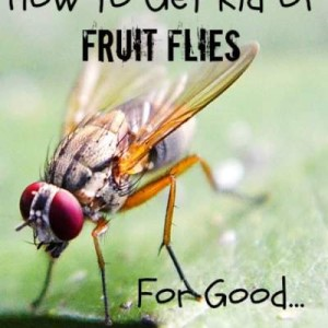 How to Get Rid of Fruit Flies