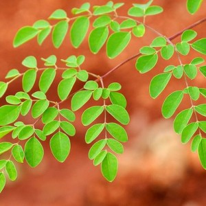 Why Should I Grow a Moringa Tree?