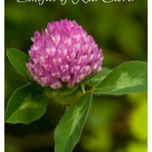 Benefits of Red Clover