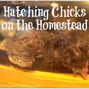 Hatching Chicks on the Homestead